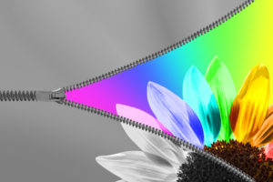 A black and white image of a zipper being unzipped. In the unzipped portion is a rainbow-colored flower.