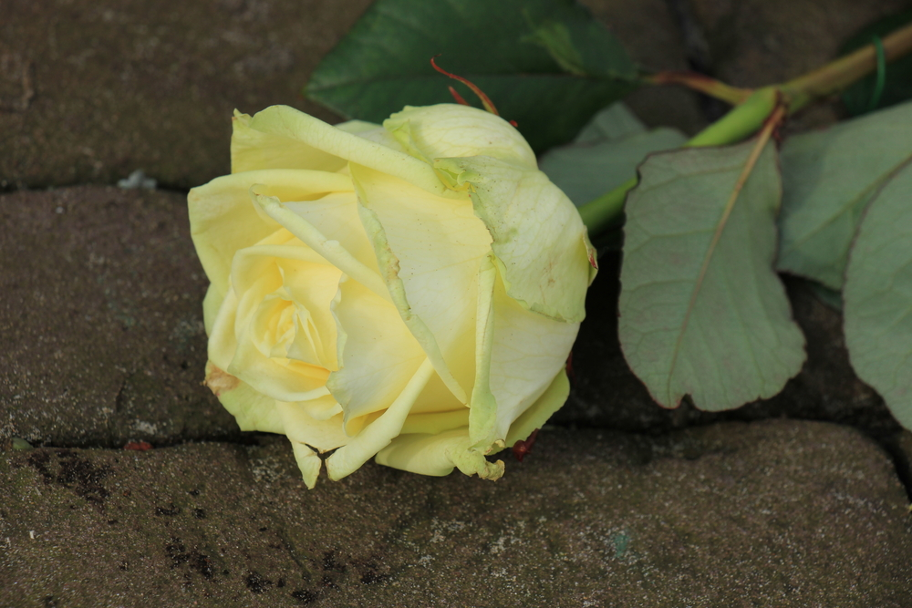 A close-up photo of a yellow rose.